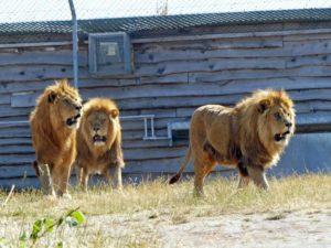 Lions at West Midlands Safari Park